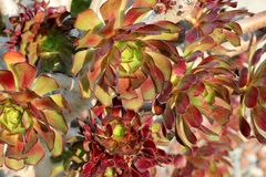 El arboreum del Aeonium, aeonium del árbol, houseleek del árbol, irlandés subió Foto de archivo