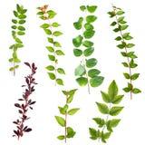 El arbusto aislado de las ramificaciones de las hojas fijó I Foto de archivo