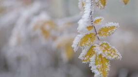 el arbusto amarillo congelado se va en el día de invierno, movimiento de la cacerola almacen de video