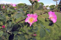 El arbusto color de rosa salvaje de la perro-rosa en la etapa floreciente Fotos de archivo libres de regalías