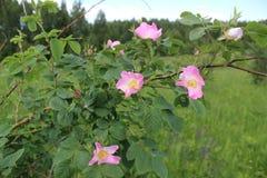 El arbusto color de rosa salvaje de la perro-rosa en la etapa floreciente Fotografía de archivo libre de regalías