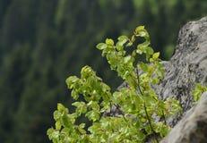 El arbusto con las hojas suculentas verdes crece en las rocas grises demasiado grandes para su edad con el musgo en Ucrania imagen de archivo libre de regalías