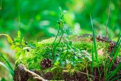 El arbusto de arándano está creciendo en un tocón Fotos de archivo libres de regalías