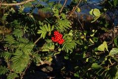 El arbusto de la baya roja Imagen de archivo libre de regalías