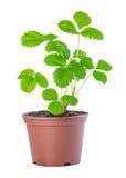 El arbusto de la primavera de la planta de fresa del brote del árbol joven en pote plástico es Foto de archivo