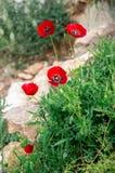 El arbusto de las amapolas Fotografía de archivo libre de regalías