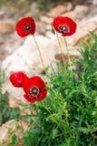 El arbusto de las amapolas Foto de archivo libre de regalías