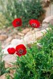 El arbusto de las amapolas Imagen de archivo