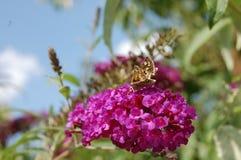 El arbusto de mariposa rosado con una pequeña polilla le gusta la mariposa Fotos de archivo