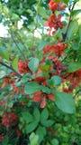 El arbusto de membrillos Foto de archivo libre de regalías