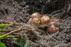 El arbusto excavada de la patata joven miente en la tierra Imagen de archivo