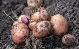 El arbusto excavada de la patata joven miente en la tierra Fotografía de archivo libre de regalías
