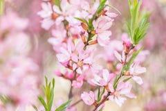 El arbusto floreciente de la primavera con las flores del color rosado Floraci?n estacional abundante imágenes de archivo libres de regalías