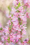 El arbusto floreciente de la primavera con las flores del color rosado Floraci?n estacional abundante imagen de archivo