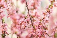 El arbusto floreciente de la primavera con las flores del color rosado l floración estacional Fondo de la flor imagen de archivo