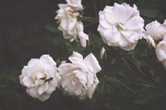 El arbusto hermoso florece, las rosas blancas del jardín en la luz de la tarde en un fondo oscuro para el calendario Fotos de archivo