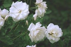 El arbusto hermoso florece, las rosas blancas del jardín en la luz de la tarde en un fondo oscuro para el calendario Imagenes de archivo