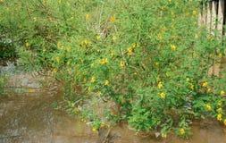 El arbusto sesban de Sesbania, dien dien la flor amarilla Imagenes de archivo