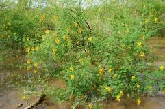 El arbusto sesban de Sesbania, dien dien la flor amarilla Fotos de archivo
