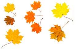 El arce coloreó las hojas de la caída Fotos de archivo libres de regalías