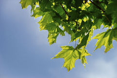 El arce del árbol con verde jugoso se va contra el verano del cielo azul Fotografía de archivo