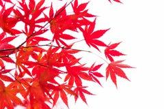 El arce rojo deja ramas en la estación del otoño aisladas en el fondo blanco, Japón Imagen de archivo libre de regalías