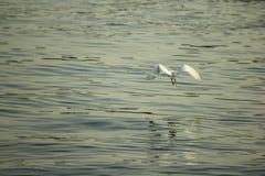 El Ardeidae está volando sobre el agua foto de archivo libre de regalías