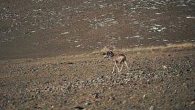 El argali, o la oveja salvaje de la montaña está en las colinas almacen de video
