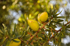El Argan da fruto en una rama - Agadir, Marruecos Fotografía de archivo