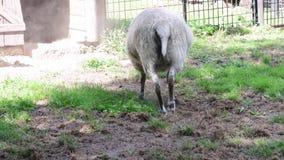El aries del Ovis de las ovejas es un cuadrúpedo, mamífero del rumiante guardado típicamente como ganado Las ovejas se descienden almacen de video