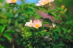 El arkansana de Rosa, la pradera color de rosa o salvaje de la pradera subió Imagen de archivo libre de regalías