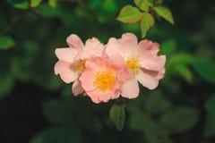 El arkansana de Rosa, la pradera color de rosa o salvaje de la pradera subió Imagenes de archivo