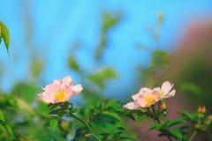 El arkansana de Rosa, la pradera color de rosa o salvaje de la pradera subió Fotografía de archivo libre de regalías