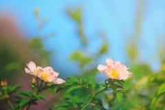 El arkansana de Rosa, la pradera color de rosa o salvaje de la pradera subió Fotos de archivo libres de regalías