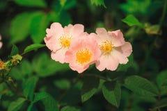 El arkansana de Rosa, la pradera color de rosa o salvaje de la pradera subió Imagen de archivo