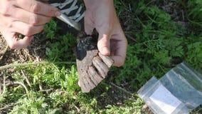 El arqueólogo despeja el hallazgo - el mandíbula de un alce que vivió en el medieval metrajes