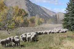 El arrastrarse de las ovejas Fotos de archivo libres de regalías