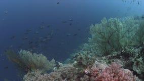 El arrecife de coral con las fans de mar grandes y la abundancia pescan 4k metrajes