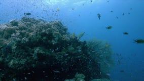 El arrecife de coral con las fans de mar grandes y la abundancia pescan 4k almacen de metraje de vídeo
