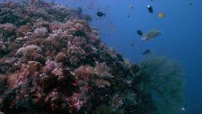 El arrecife de coral con las fans de mar grandes y la abundancia pescan 4k almacen de video