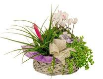 El arreglo floral con las flores del ciclamen y el Tillandsia Cyanea florecen en una cesta de la paja, fondo blanco aislado Fotos de archivo libres de regalías