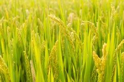 El arroz Foto de archivo libre de regalías