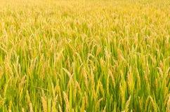 El arroz Imagen de archivo