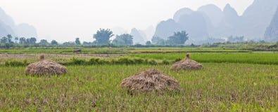 El arroz acecha la sequedad en campo imágenes de archivo libres de regalías
