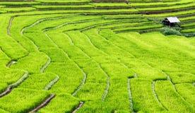 El arroz colgante coloca pasos de progresión. Fotos de archivo