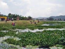 El arroz coloca campos verdes Fotos de archivo libres de regalías