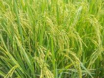 El arroz coloca cerca de colores de la cosecha Fotos de archivo libres de regalías