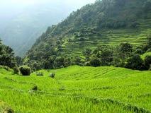 El arroz coloca cerca del circuito de Bahundanda - de Annapurna - Nepal Fotos de archivo libres de regalías