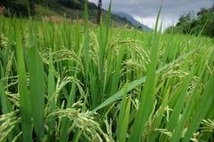 El arroz coloca en China septentrional, contextos imponentes d Y Foto de archivo