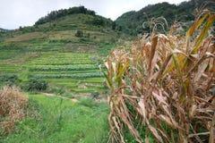 El arroz coloca en China septentrional, contextos imponentes d Y Fotografía de archivo libre de regalías